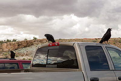 Crows on car - p1291m1116110 by Marcus Bastel