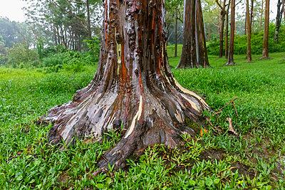 USA, Hawaii, Kauai, Rainbow eucalyptus, Eucalyptus deglupta - p300m2083442 by Fotofeeling