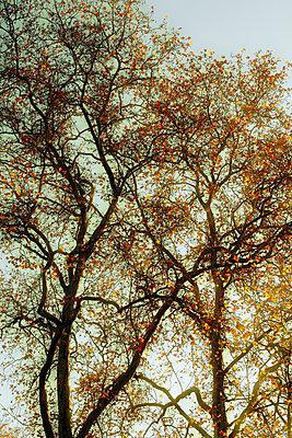 Laubbaum im Herbst - p415m2230093 von Tanja Luther