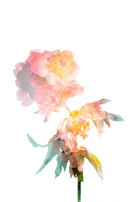 Peony flower bouquet - p919m2193280 by Beowulf Sheehan