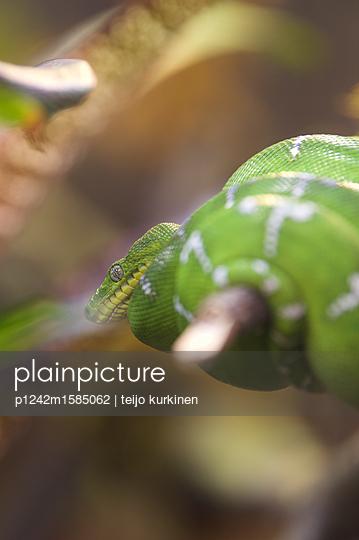Grüne Schlange - p1242m1585062 von teijo kurkinen