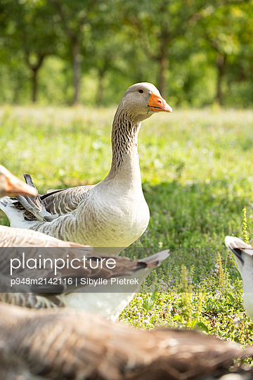 Geese in a meadow - p948m2142116 by Sibylle Pietrek