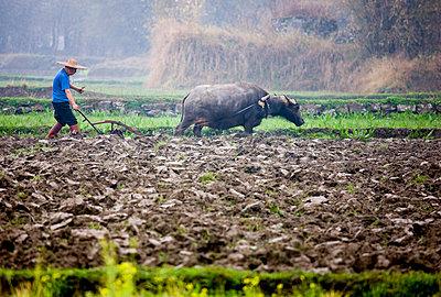 Farmer uses a buffalo to pull plough through a crop field near Fuli - p871m873336 by Tim Graham