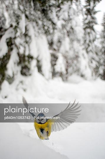 Blue tit  landing in snow, Sweden, February. - p840m1053743 by Pal Hermansen