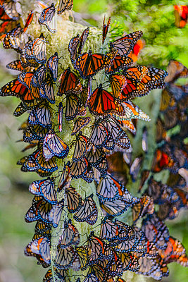 Close up of butterflies perching on plant - p555m1413670 by Eric Raptosh Photography