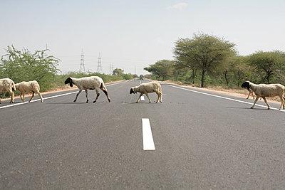 Schafe überqueren eine Straße - p596m1222182 von Ariane Galateau