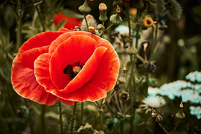 Poppy flower, close-up - p851m2205827 by Lohfink