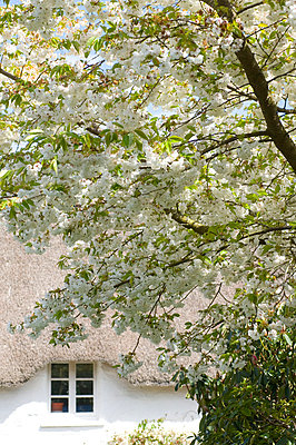 Blossom tree and cottage exterior  Devon  UK - p3493389 by Kim Sayer