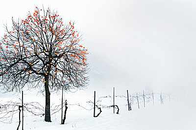 Japanese Persimmon in winter - p922m2071559 by Juliette Chretien