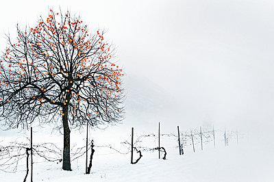 Kakibaum im Winter - p922m2071559 von Juliette Chretien