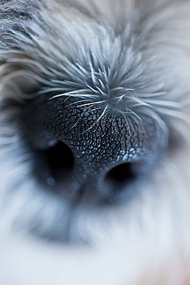 Close up of Shih-Tsu/Bichon Frisé mixed dog - p6070066 by Ron Bouwhuis