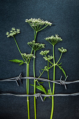 Cow parsley behind barbed wire - p971m1039162 by Reilika Landen