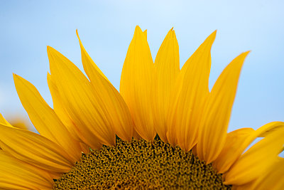 Cropped image of sunflower growing against clear sky - p1166m2111931 by Cavan Images