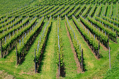 Vineyard - p417m1154839 by Pat Meise