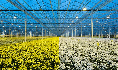 Greenhouse specialised in growing Chrysanthemums, Ridderkerk, zuid-holland, Netherlands - p429m1022627 by Mischa Keijser