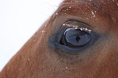 Auge eines Pferdes im Winter - p703m699023 von Anna Stumpf