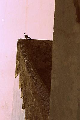 Dove on balcony - p1063m1492495 by Ekaterina Vasilyeva