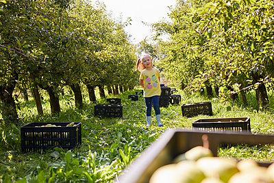 Girl harvesting organic williams pears - p300m2140726 by Sebastian Dorn