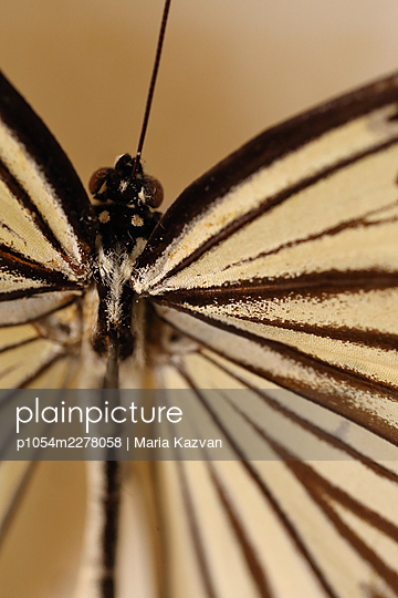 Macro Butterfly - p1054m2278058 by Maria Kazvan