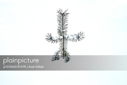 Fir tree in winter - p1312m2191376 by Axel Killian