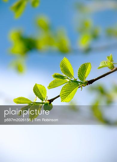Blätter an einem Baum - p597m2026156 von Tim Robinson