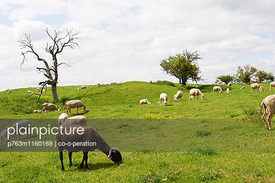 Schafe auf der Wiese - p763m1160169 von co-o-peration