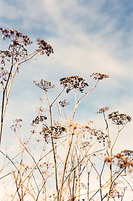 Seedheads on tall stalks against a cloudy blue sky - p1047m1031594 by Sally Mundy
