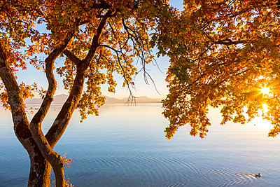 Germany, Bavaria, Chiemsee, tree with autumn leaves against evening sun - p300m2005483 by Michael Malorny