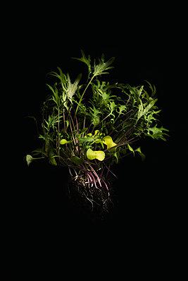 Japanischer Senf im Dunkeln - p947m1194503 von Cristopher Civitillo
