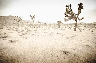 California, Twentynine Palms, Joshua Tree National Park, Joshua trees in desert landscape - p1427m2285557 by Chris Hackett