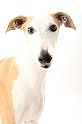 Greyhound - p4030413 by Helge Sauber