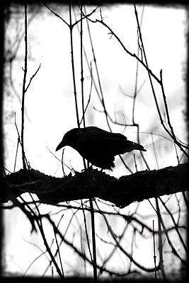 Krähe wartet - p4500390 von Hanka Steidle