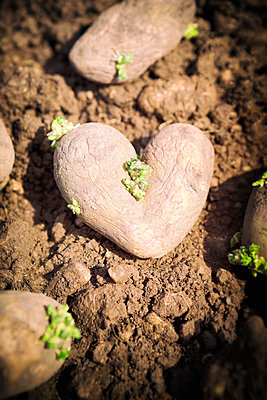 Heart shaped potato - p1149m1574277 by Yvonne Röder