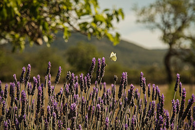 Lavendelblüte - p600m2076865 von Laura Stevens