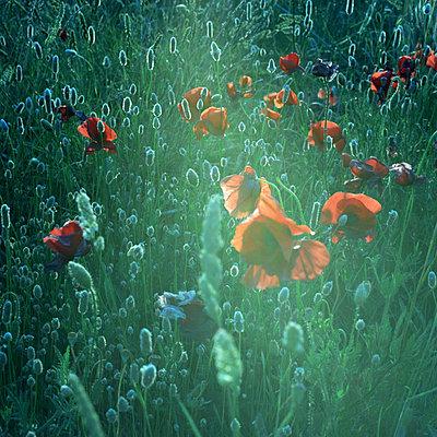 Wild poppies - p9450017 by aurelia frey