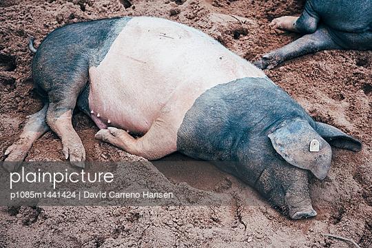 Ein Sattelschwein macht ein Nickerchen - p1085m1441424 von David Carreno Hansen
