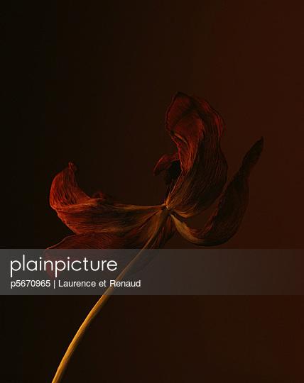 Verblühte Tulpe - p5670965 von Laurence et Renaud