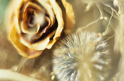 Alte gelbe Rose - p2370499 von Thordis Rüggeberg