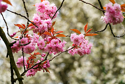 Pink blossoms on a tree; Gateshead, Tyne and Wear, England - p442m1216444 by John Short