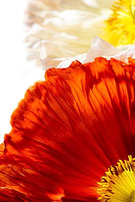 Mohn - p647m1124233 von Tine Butter