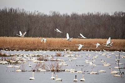 Tundra Swan Takeoff above waterfowl impoundment - p1480m2229505 by Brian W. Downs