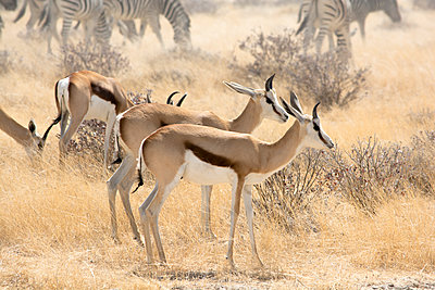 Springböcke und Zebras, Namibia - p1486m1564234 von LUXart