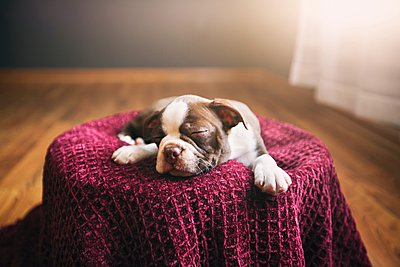 Boston Terrier puppy lying on purple blanket, eyes closed, sleeping - p429m1084523 by Rebecca Nelson