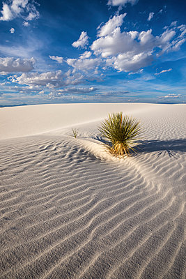 Yucca Plant, White Sands National Monument, Alamogordo, New Mexico, USA - p651m2007105 by Tom Mackie