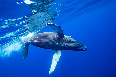 Humpback Whale (Megaptera novaeangliae) rolls over just below the surface; Hawaii, United States of America  - p442m1578819 by Dave Fleetham