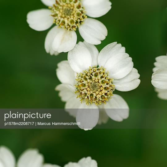 Blumen mit weißen Blütenblättern, Nahaufnahme - p1578m2208717 von Marcus Hammerschmitt