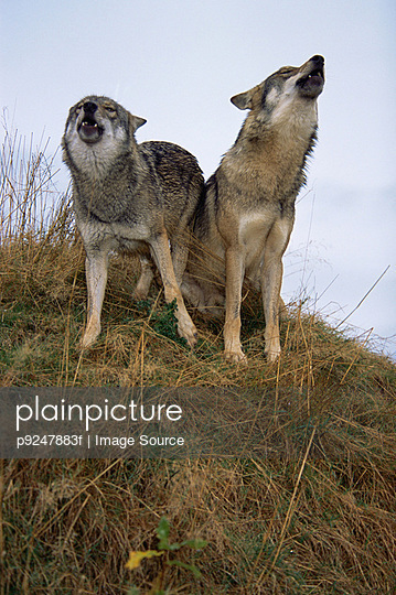 Howling wolves - p9247883f by Image Source