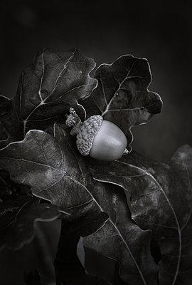 Eichel und Blätter - p1235m2214801 von Karoliina Norontaus