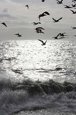 Flying seagulls silhouetted over the sea with a wave crashing  - p3313111 by Gail Symes