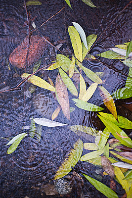 Leaves in River With Raindrops - p694m756890 by Justin Hill photography